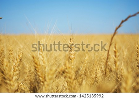 the field of wheat. wheat spike #1425135992