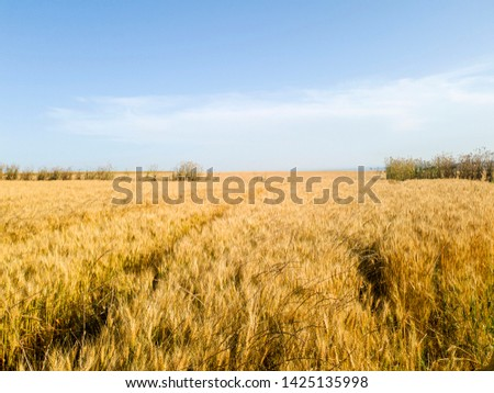 the field of wheat. wheat spike