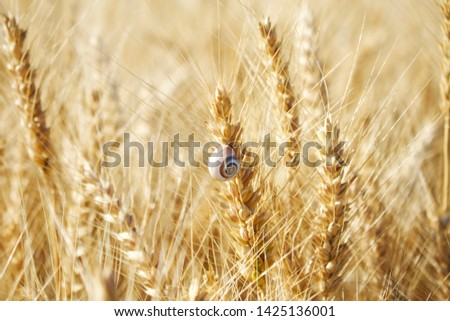 the field of wheat. wheat spike #1425136001