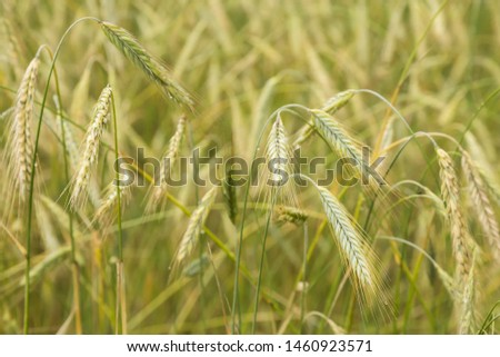 The field on which grow rye ears. Grain crop. Agriculture. Backgrounds for advertising agricultural crops.
