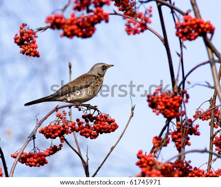 The Fieldfare (Latin name: Turdus pilaris) in the wild nature.