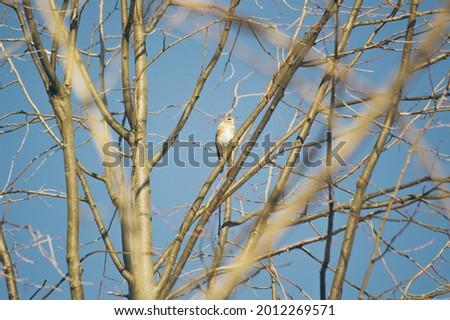 The Fieldfare, or the Snowbird (lat. Turdus pilaris), a common species of European thrush Stock fotó ©