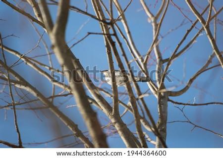 The Fieldfare, or the Snowbird (lat. Turdus pilaris) is a common species of European thrush. Stock fotó ©