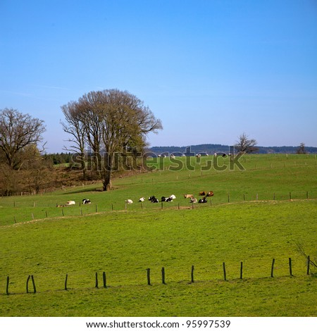 The fields and forests. Landscape. Cows.