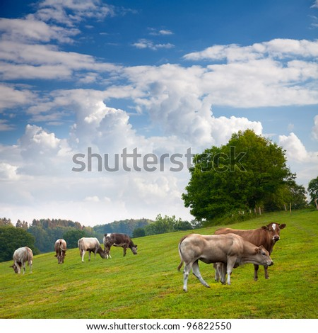 The fields and forests. Landscape. Cows. - stock photo