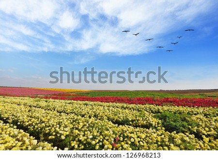The fields with yellow flowers Ranunculus. Flowers are grown for export. The spring.