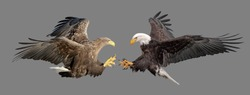 The fight of two eagles on an isolated background