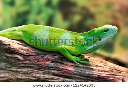 The Fiji banded iguana lives on the Fiji Islands & on nearby islands. The wild population is less than 10,000. They inhabit undisturbed habitats, from high cloud forests to low-lying coastal swamps