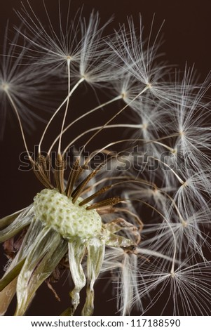 the final fluffy seedlings of a dandelion prepare to be blow away in the next gust of wind. the flower, weathered and wilted, is still home for these remaining seeds.