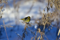 The Finch (Carduelis spinus) is a species of songbird in the Finch family, order passerine, sitting on a twig of grass on a winter day.