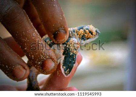 The fingers of a black and white man hold a baby turtle. Humans hands and newborn turtle in the Sea Turtles Conservation Research Project in Bentota, Sri Lanka. saving animals, trusting people