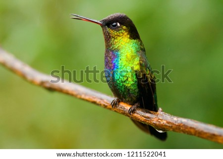 The Fire-throated Hummingbird has beautiful, shiny colours. It is native to Costa Rica. #1211522041