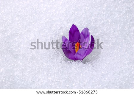 The first flowers - Crocuses. Blossom, as soon as snow descends. The picture is made in mountains Carpathians, Ukraine. Spring.