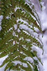 The first snow in the fall. Green leaves in the snow. Fern in the snow. Snowflakes on the green grass.