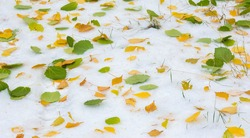 The first snow, late autumn, autumn leaves on the snow. snowfall, snow, fall of snow, scurry.