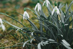 The first white spring snowdrops. High quality photo
