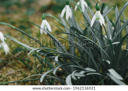 The first white spring snowdrops. High quality photo Foto stock ©
