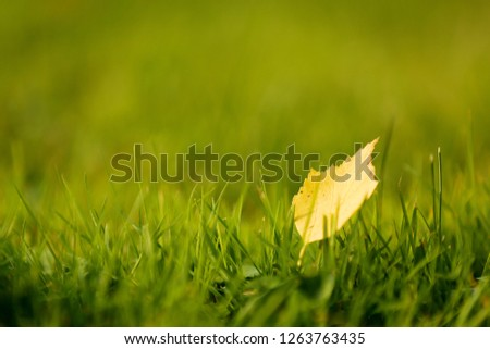 The first yellow leaf lies alone on the grass in the rays of the sun. Autumn defoliation will begin soon. Light blurred background with copy space