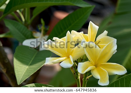 The five petals of plumeria flower in shade of yellow color with the five petals of plumeria flower in shade of yellow color with strong fragrance mightylinksfo