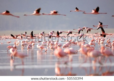 The flamingo, which is the main attraction for tourists at Lake Nakuru National Park, Kenya