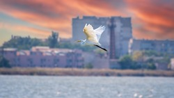 The flight of the little egret in beautiful sunset sky over water. A heron flies over a city pond during an orange-pink sunset. Small White Heron, lat. Egretta garzetta