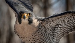 The Flight of the Peregrine Falcon