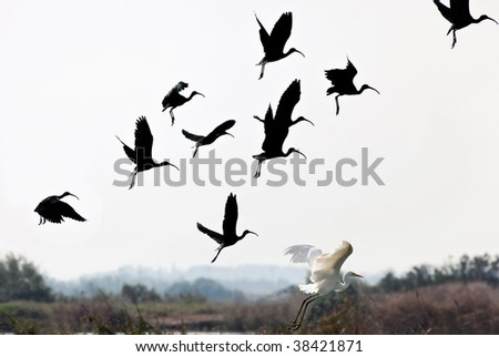 The flight of the sacred ibis and white heron
