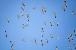 The flock of American Avocets (Recurvirostra americana) flying in the blue sky. Baylands Nature Preserve, Santa Clara County, California