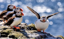 The flock of Atlantic puffins are standing on a cliff under sunlight. Farne Islands, Northumberland England, North Sea. UK