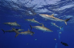 The flock of silk sharks at the surface of the sea.