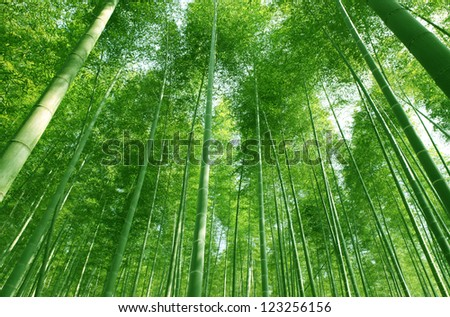 The flourish bamboo forest with glorious morning sunshine.