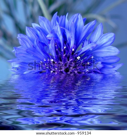 The flower blue cornflower reflected in water