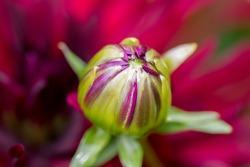 The flower bud