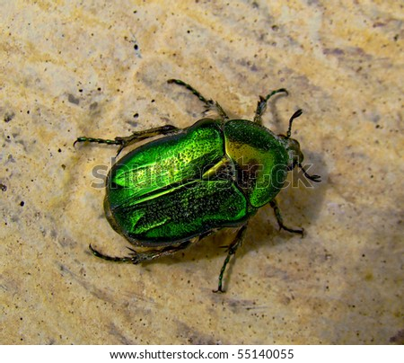 The Flower Chafer is a beautiful, shiny, emerald green, and quite large beetle. - stock photo