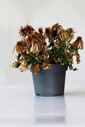 The flower fades. The houseplant wilted. A dried flower in a pot on a gray background.