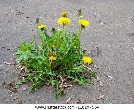 The flower growing on asphalt.