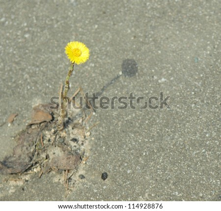 The flower grows from asphalt. The concept