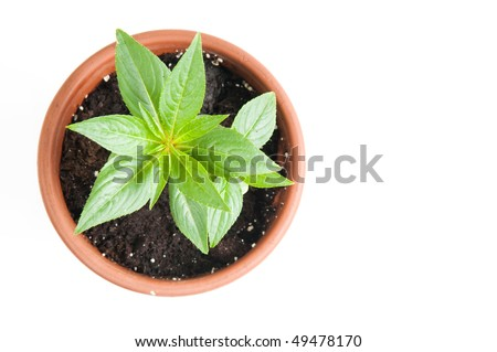 The flower in a pot