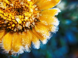 The flower is covered with frost in the sun. Beautiful yellow frozen flower in late autumn. Petals of  flowers covered with frost. Late autumn or early winter. Quiet frosty morning. Macro. Close-up