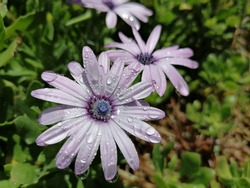 The flower is soft, bluish purple, with beautiful dewdrops, sparkling, the core is purple with shades of light blue, white and blue, on a green background