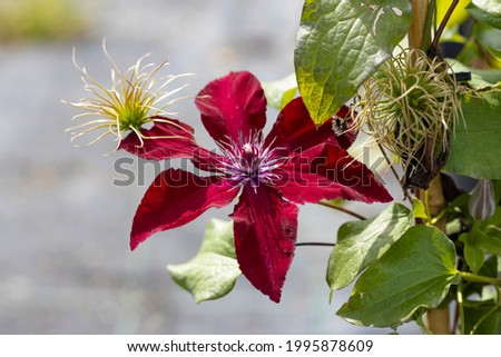 """The flower of a Clematis boulevard. This cultivar is the Clematis boulevard """"Acropolis"""". This plant produces red flowers. Foto stock ©"""