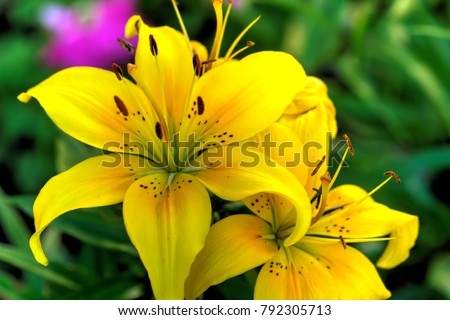 The flower of a yellow lily growing in a summer garden.