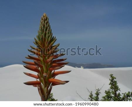 The flower of an Aloe arborescens (krantz aloe) (candelabra aloe) blooms in Thera, Greece