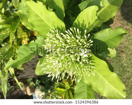 """The flower of Thailand we call """"spike flower"""". This flower is very important in the ceremony of teacher. It instead sharp sharpness."""