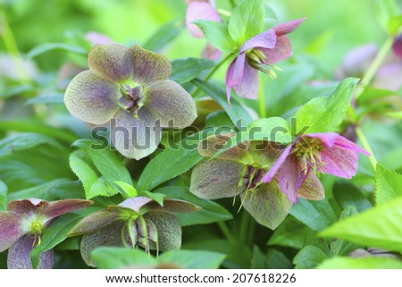 The Flower Of The Christmas Rose In Natural Garden