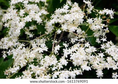 The flower of the Sambucus nigra, known as elder, elderberry, black elder, European elder, European elderberry