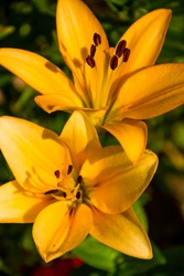 The flower yellow lily growing in a summer garden.