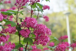 the flowering currant, redflower currant, or red-flowering currant, is a North American species of flowering plant in the family Grossulariaceae.