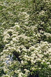 The flowering of hawthorn is monopestic (Crataegus monogyna Jacq.). Spring