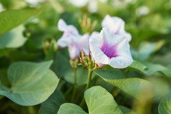 The flowers are blooming, they look beautiful. Fresh flowers from morning glory Morning glory plants can be used for cooking.